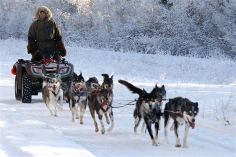 how are sled dogs trained stock photo of a team of dogs harnessed to a