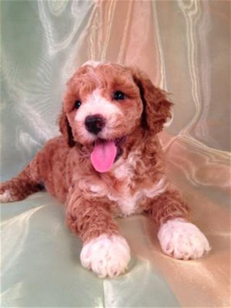 cockapoo puppies for sale in illinois and white cockapoo puppies for sale by iowa s top cockapoo breeders