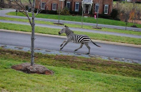 house zebra white wolf baby zebra escapes from a new york petting