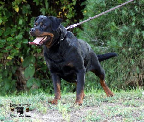 yugoslavian rottweiler lepa vom hochklasse high class rottweilers kennel puppies