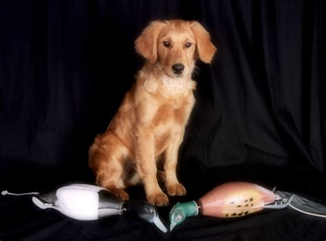 field golden retriever puppies our dogs floden minnesota golden retrievers