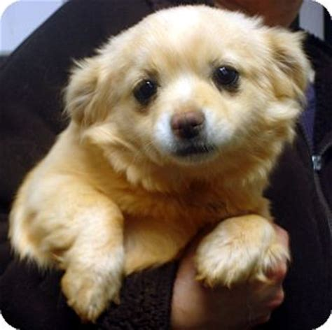 pomeranian for adoption in va pixie 2 adopted puppy 8380 manassas va pomeranian pekingese mix