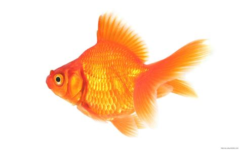 Gold Fish   Clip Art Library