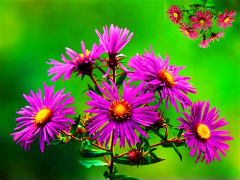 aster flowers wallpapers my note book wallpapers for flowers and nature impremedia net