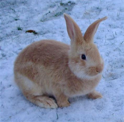 Baby Flamish baby flemish rabbit www pixshark images