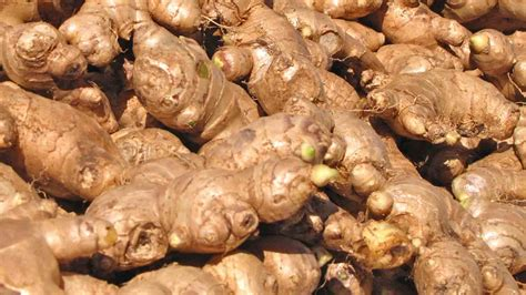 imagenes de jengibre en ingles la planta de jengibre agriculturers com red de