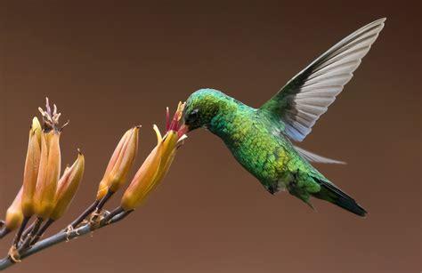 Hummingbird L by Hummingbird Juzaphoto