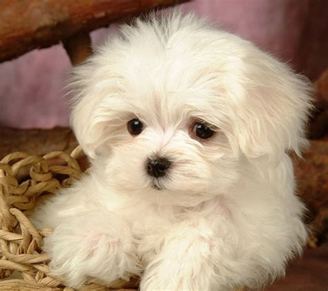 with new puppy maltese maltese terrier puppy pictures and wallpapers new pet