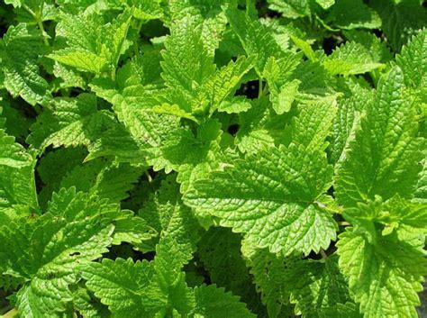 citronella lemon balm perennial 4 plants mosquito repellant