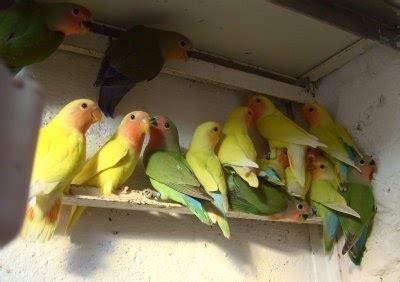 informasi budi daya  ternak budidaya burung lovebird