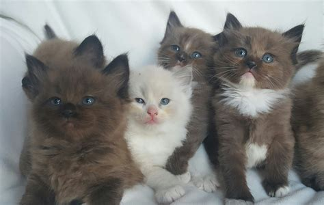rag doll pictures image gallery ragdoll kittens