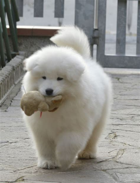 Images Of Samoyed Puppies