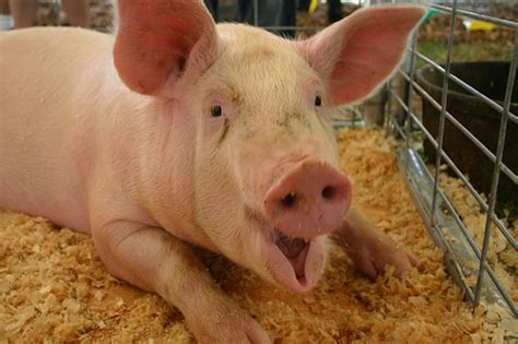 Animal Farm Pig spotlight on farm animals farmtek