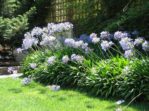 how to grow and care for agapanthus jardines pinterest gardens plants and yards