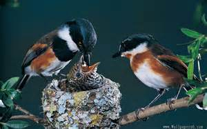 the parent birds feed her baby bird animal wallpapers