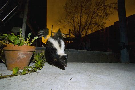 skunk in backyard striped skunk in backyard at night photograph by sebastian kennerknecht