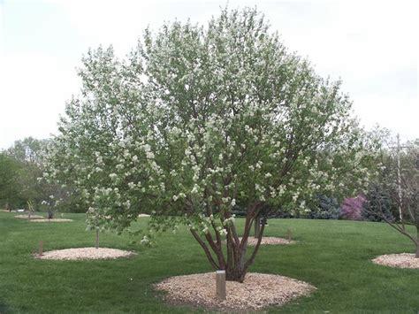 Royal Garden Gold Scrub chokecherry amur usu tree browser trees and shrubs