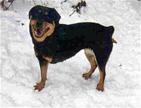ohio rottweiler rescue ohio rottweiler rescue adoption guidelines