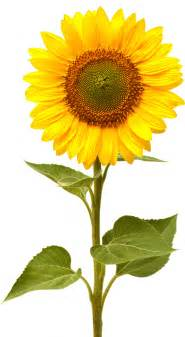 How to grow sunflowers a guide to growing sunflowers