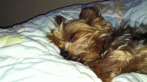 yorkie snoring snoring yorkie