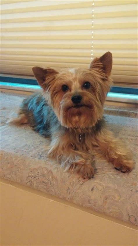 adoptable yorkies 17 best ideas about yorkie puppies for adoption on teacup yorkie for