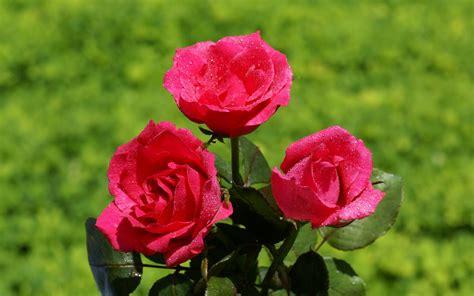 imagenes rosas wallpapers rosas