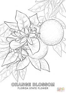 florida state flower coloring page free printable