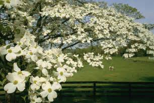 Flowering Dogwood Tree - dogwood tree facts everything you need to know