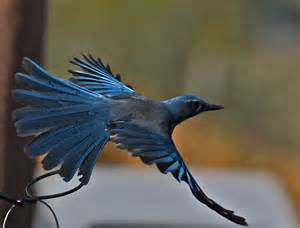 New Mexico House Western Scrub Jay Photo Feathers