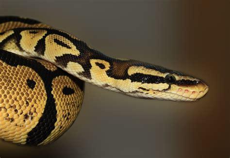 python image snake python regius 183 free photo on pixabay