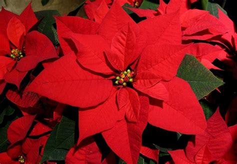 Come Curare Stella Di Natale stella di natale come curare piante appartamento