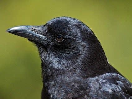 northwestern crow identification all about birds