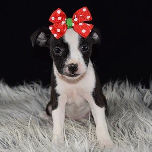 bojack puppies bojack puppy for sale olive oyl puppies for sale in pa nj ma