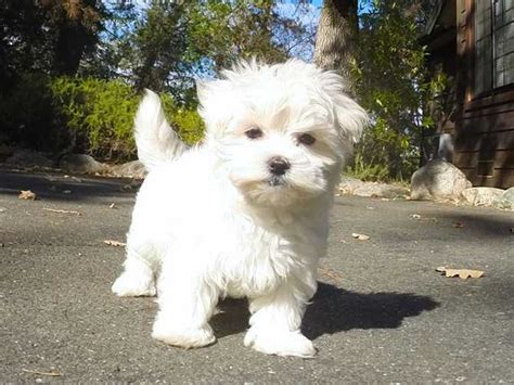 bay area puppies for sale akc cutest maltese puppy for sale in the bay area for sale