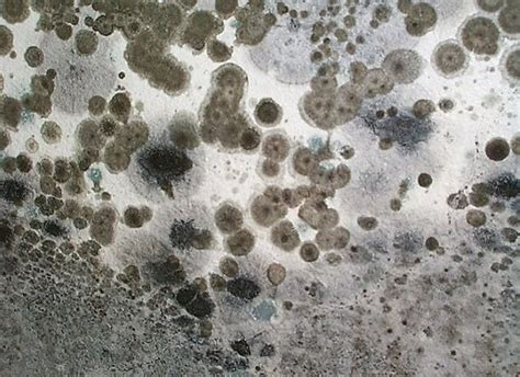 black mold images are mold spores dangerous can mold spores be dangerous