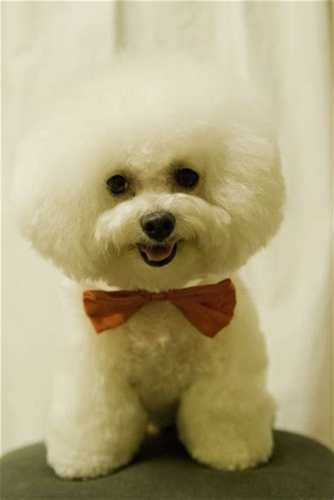 how to give a bichon a puppy cut which bichon frise hair cut is best for your dog all