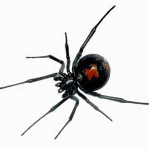 imagenes viudas negras c 243 mo identificar una ara 241 a viuda negra plagas