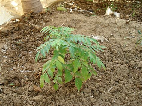 small plant file curry patta small plant jpg