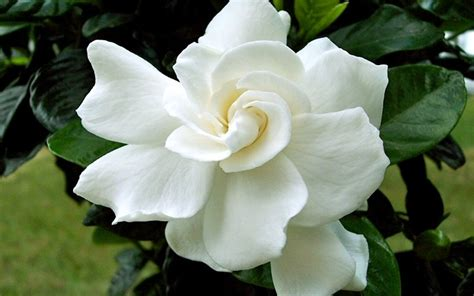 Gardenia August Buy August Gardenia Gardenia Jasminoides August