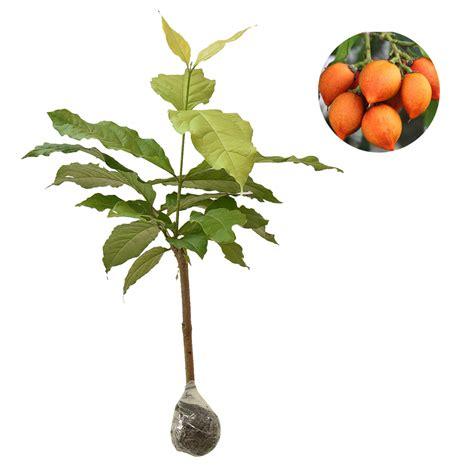 Tanaman Biriba 60cm tanaman kacang peanut butter fruit 40 60 cm bibitbunga