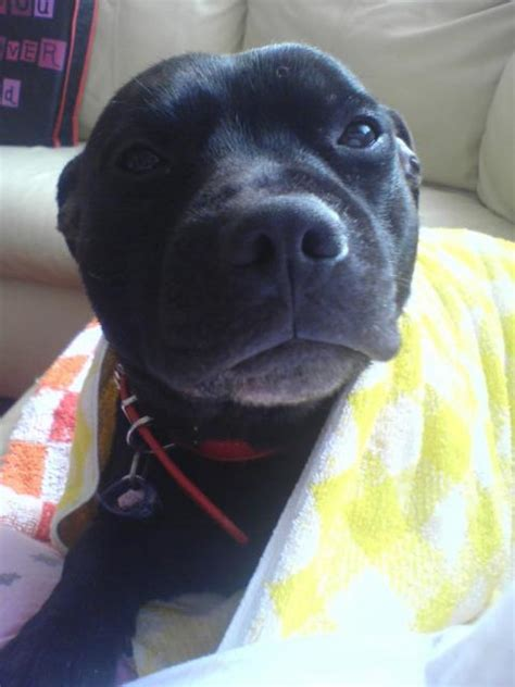 black pit puppy black and brown brindle pit bull breeds picture