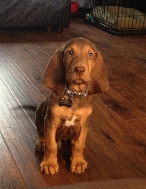 bloodhound dogs bloodhound puppy bloodhound