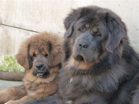 tibetan mastiff puppy for sale tibetan mastiff puppy for sale st helens merseyside pets4homes