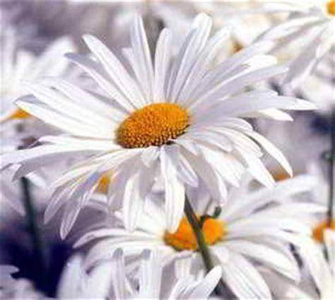 imagenes flores blancas hermosas fotos de flores hermosas y paisajes de flores preciosas y