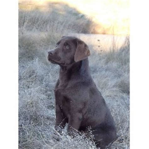 lab puppies nh chocolate lab puppies new breeds picture