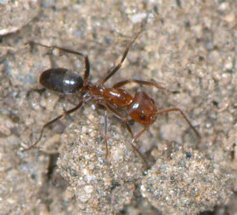 ants pyramid ants