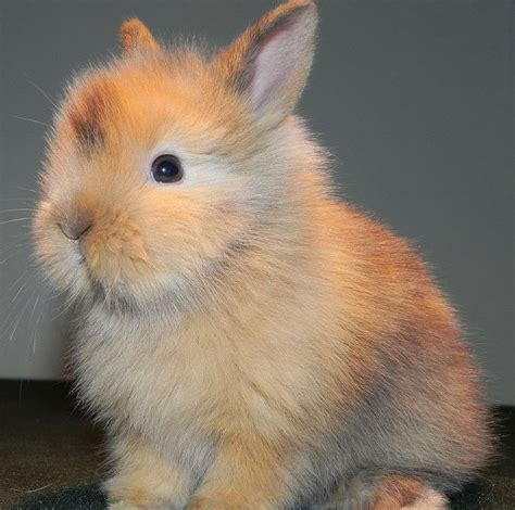 Bando Rabbit 125 best images about bunny on buns guinea