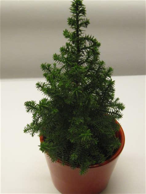 weihnachtsbaum klein 25 30cm konifere im keramik 220 bertopf