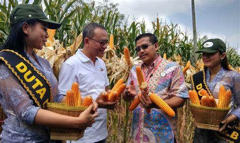 benih jagung dekalb dk 771 jadi solusi atasi bulai