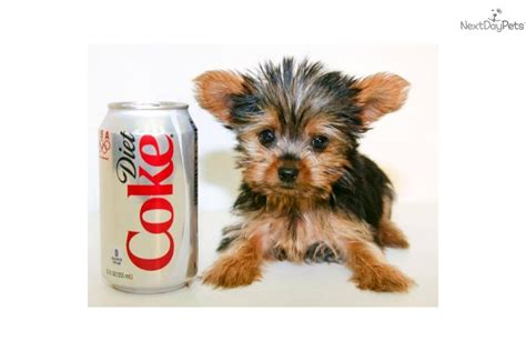 teacup yorkie grown up terrier yorkie puppy for sale near columbus ohio 42093d90 a941